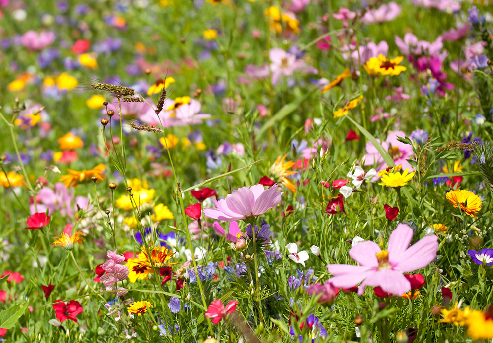 Background of Flowers Field