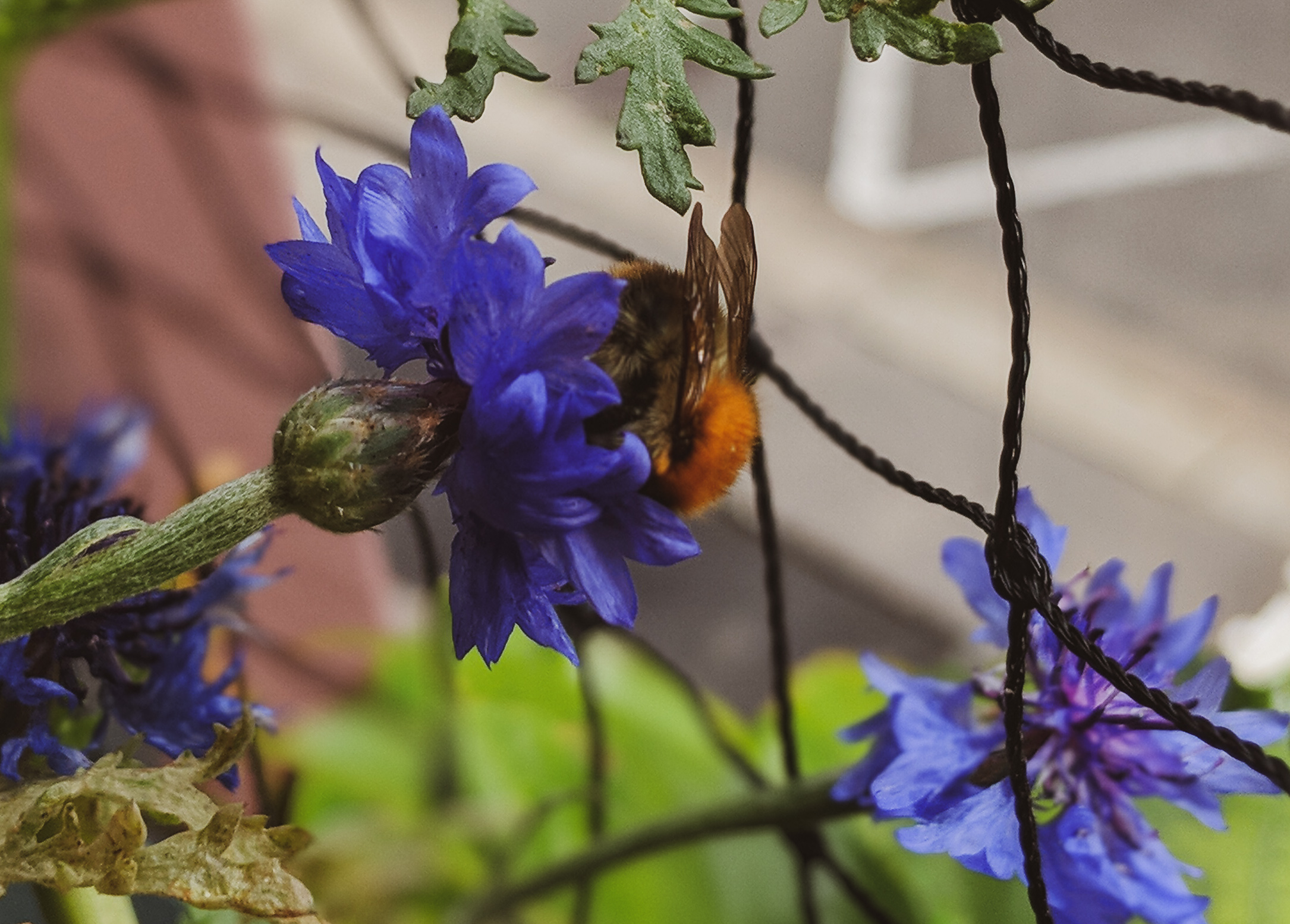 bio blog denns mandy erbse huth stadtbalkon balkon bienen wildbienen bienenfreundliche pflanzen blumen (4)
