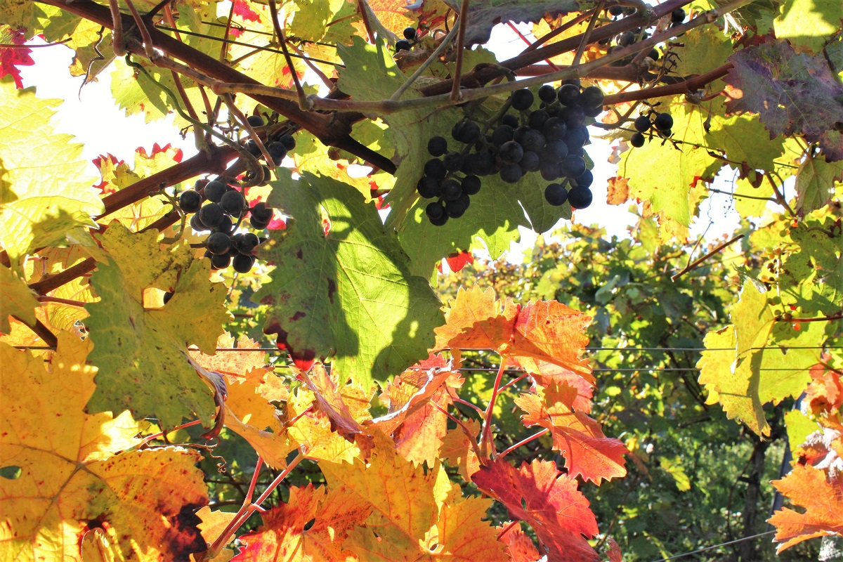 Weinberg Herbstlaub Ecovin
