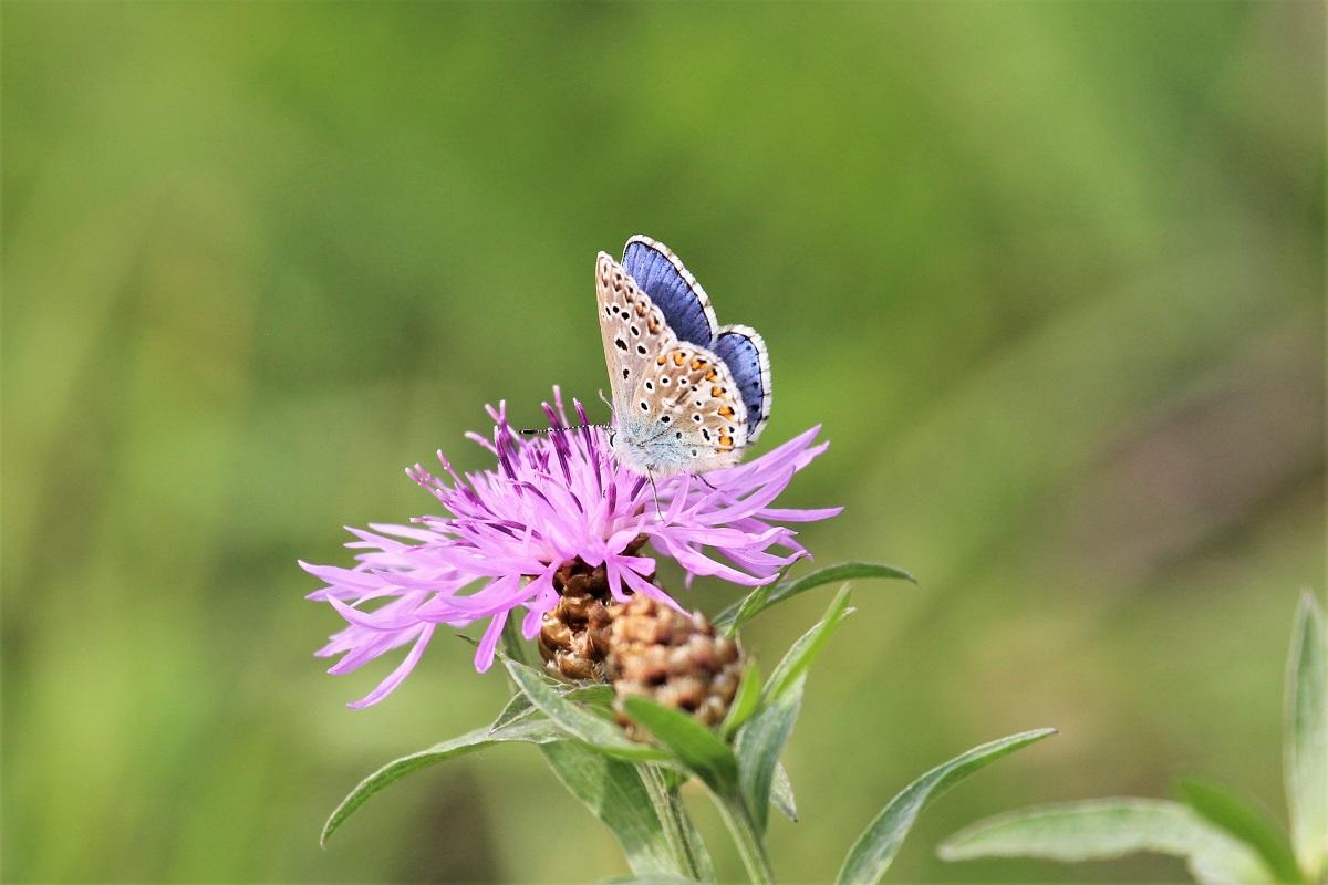 Biodiversität Bläuling