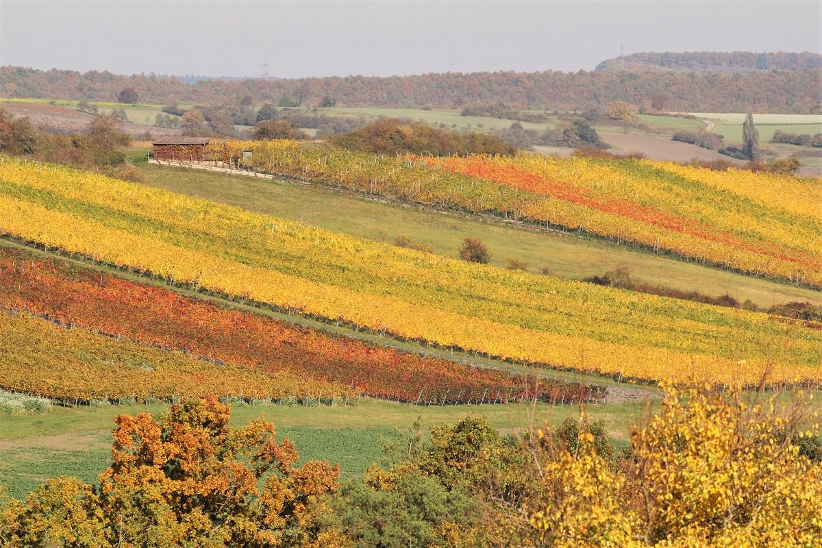 Weinberg Rebsorten Herbst