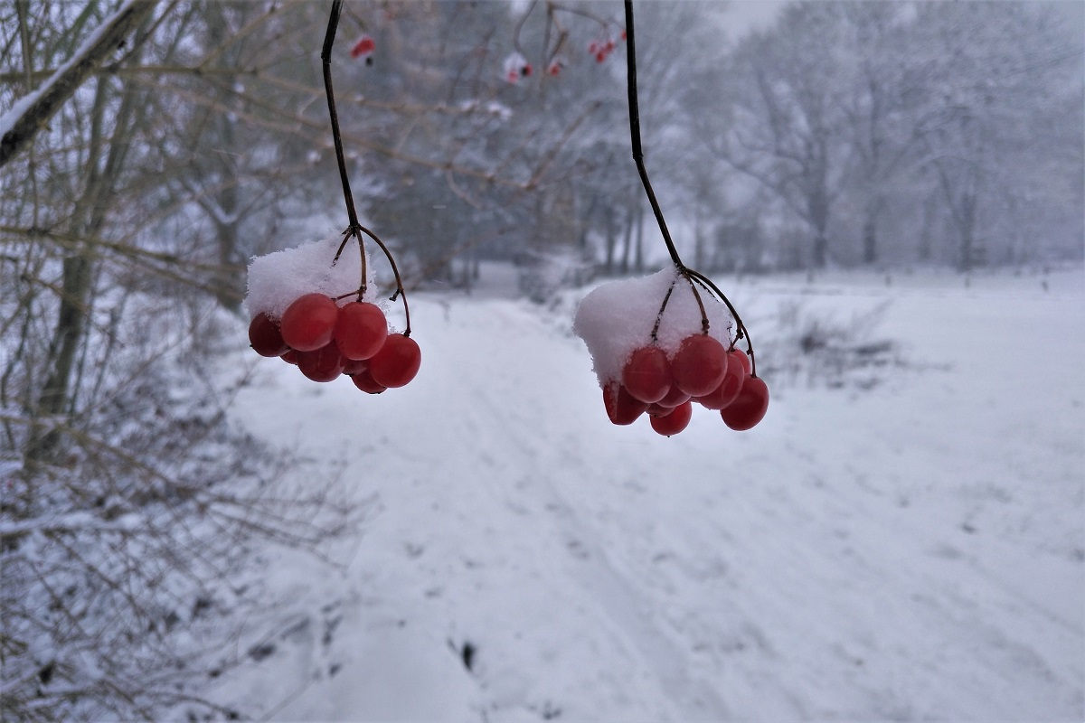 Spaziergang Winter Beeren
