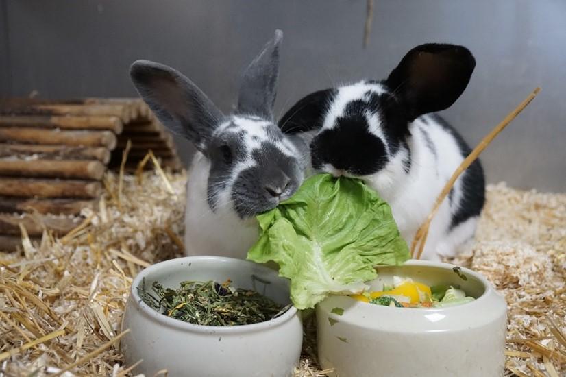 Unser Engagement für mehr Lebensmittelwertschätzung: Zwei Hasen vom Tierschutzverein Schwandorf knabbern an einem Salatblatt.